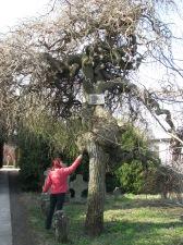 Arbore Sofora - Monument al naturii